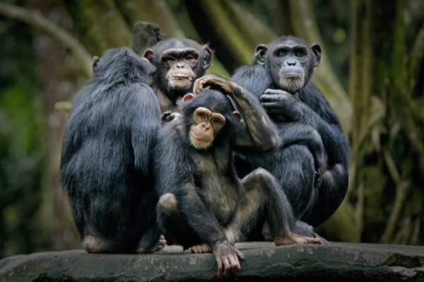 can we become better managers by watching apes cmi